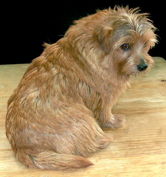 Norfolk Terrier with a blown coat, ready for stripping.