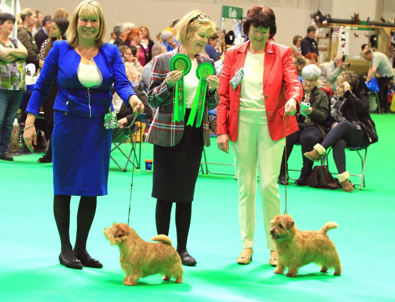 Norfolk Terriers in the show ring