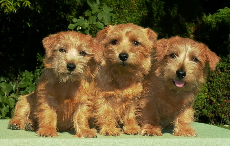 Norfolk Puppies
