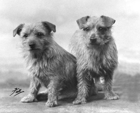 Norfolk Terrier History -