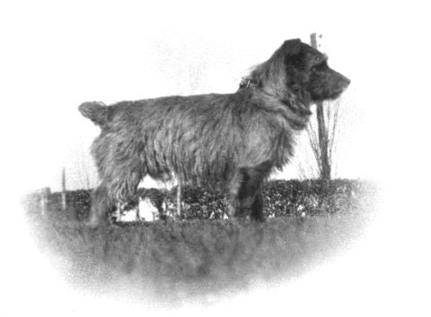 Norfolk Terrier History - Tobit, born in 1928, the sire of the second drop-ear champion Tinker Bell.