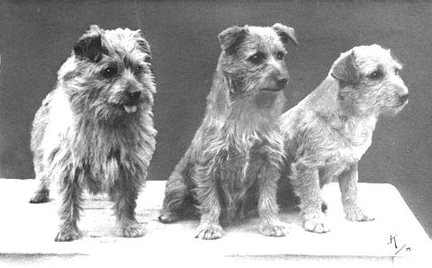 Norfolk Terrier History - Tiny Tim of Biffin (left) born in 1933, bought by Miss Macfie as a puppy, her first drop-ear Norwich, with Colonsay Banjo (centre) and Colonsay Attaboy (right).