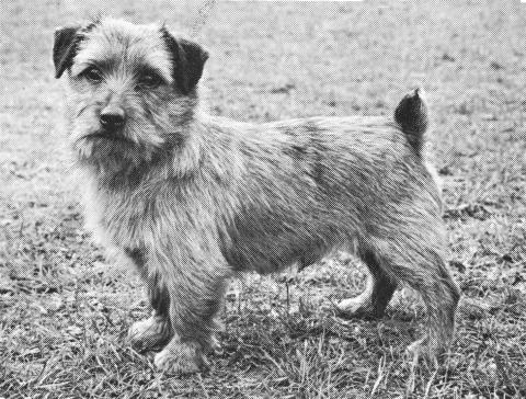 Norfolk Terrier History - Ch Colonsay Orderley Dog was born in 1960 and won 19 C.C.s