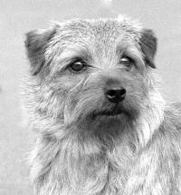 "Norfolk Terrier ""Tubby"" (Cracknor Candidate)"
